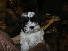 Unser neuer Hund: Poldi, 11 Wochen alt.