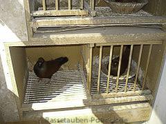 Tauben Potreck und Sprehwald 114